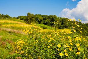 菊芋の花と稲穂実る稲淵の棚田の写真素材 [FYI03256267]