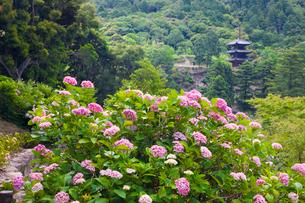 大瀧山西法院の紫陽花と三重塔の写真素材 [FYI03256471]