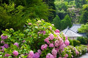 大瀧山西法院の紫陽花の写真素材 [FYI03256478]