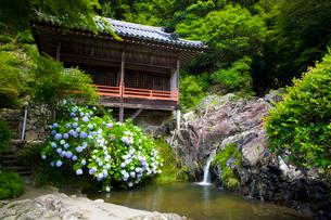 大瀧山西法院の紫陽花の写真素材 [FYI03256482]