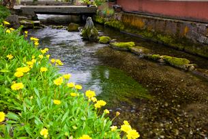 夏の花の咲く醒ヶ井宿の地蔵川の写真素材 [FYI03256484]