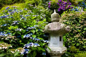 大瀧山西法院の紫陽花の写真素材 [FYI03256486]