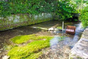 梅花藻の揺れる醒ヶ井宿の地蔵川の写真素材 [FYI03256487]