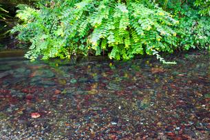 夏の花の咲く醒ヶ井宿の地蔵川の写真素材 [FYI03256490]