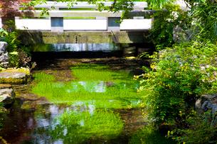 夏の花の咲く醒ヶ井宿の地蔵川の写真素材 [FYI03256491]