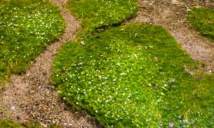 梅花藻の揺れる醒ヶ井宿の地蔵川の写真素材 [FYI03256493]