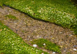 梅花藻の揺れる醒ヶ井宿の地蔵川の写真素材 [FYI03256494]