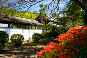 彼岸花の咲く世尊寺の写真素材 [FYI03256526]