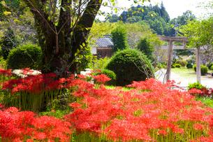 彼岸花の咲く世尊寺の写真素材 [FYI03256530]