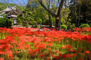 彼岸花の咲く世尊寺の写真素材 [FYI03256535]