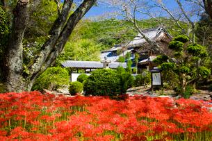 彼岸花の咲く世尊寺の写真素材 [FYI03256537]