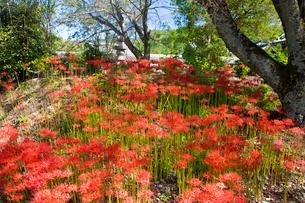 彼岸花の咲く世尊寺の写真素材 [FYI03256538]