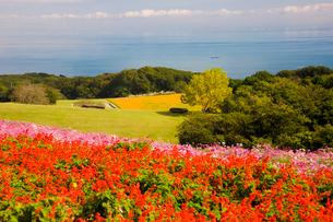 コスモスやサルビヤが咲くあわじ花さじきの写真素材 [FYI03256542]