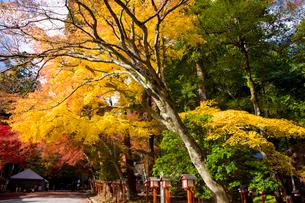 日吉大社境内の紅葉の写真素材 [FYI03256581]