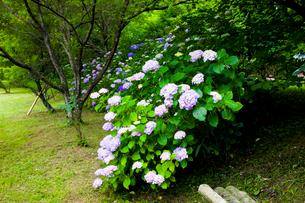 紫陽花咲く葛城古道の神話の里高天原の写真素材 [FYI03256691]