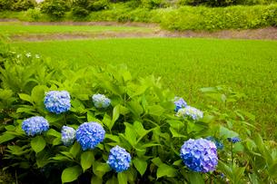 紫陽花咲く葛城古道の神話の里高天原の写真素材 [FYI03256726]