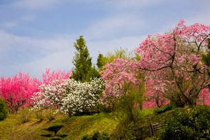 天野の里の花桃が咲く丘の写真素材 [FYI03256803]