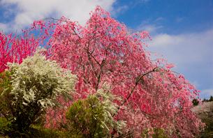 天野の里の花桃が咲く丘の写真素材 [FYI03256808]