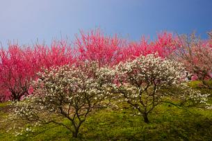天野の里の花桃が咲く丘の写真素材 [FYI03256817]