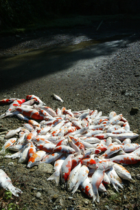 新潟中越地震 地震で死んだ鯉の写真素材 [FYI03260361]