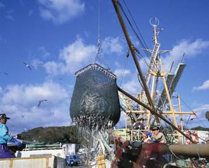 サンマ漁の水揚げの写真素材 [FYI03260715]