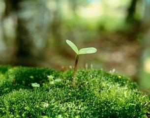 発芽 緑のイメージの写真素材 [FYI03261006]
