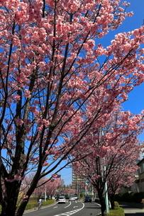 稲城市都道尾根幹線のサクラ  ヨウコウサクラの写真素材 [FYI03263212]