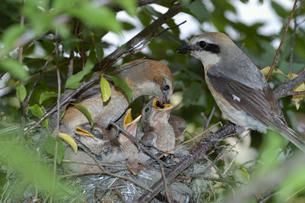 餌をあたえるモズの親たちの写真素材 [FYI03263905]
