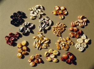 色々なトウモロコシの写真素材 [FYI03264599]