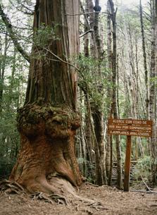 樹齢1500年の木の写真素材 [FYI03265584]