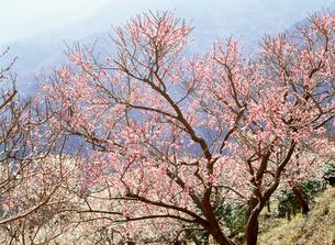 紅梅 幕山公園の写真素材 [FYI03265606]