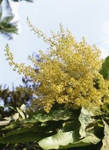 マンゴーの花の写真素材 [FYI03265726]