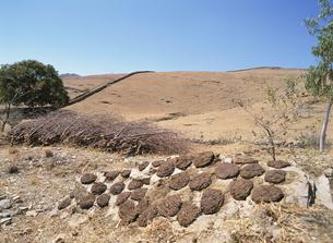うしの糞の燃料 2月 ラジャスタン州 インドの写真素材 [FYI03267064]