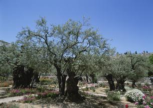 ゲッセマネの園 エルサレム5月 イスラエルの写真素材 [FYI03267097]