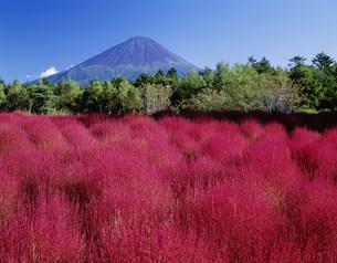 ほうき草の秋と富士山の写真素材 [FYI03267981]