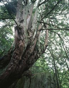 坂下の十二本ヒノキの写真素材 [FYI03268139]