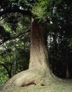 伊賀野のモミの写真素材 [FYI03268143]