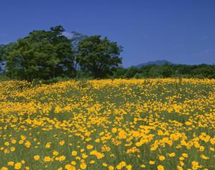 大金鶏菊の花畑と金華山の写真素材 [FYI03268163]
