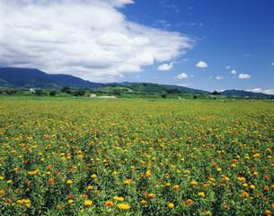 ベニバナ畑の写真素材 [FYI03268249]