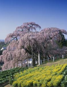 三春の滝ザクラの写真素材 [FYI03268366]