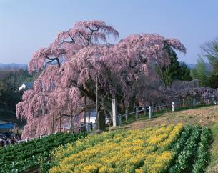 三春の滝ザクラの写真素材 [FYI03268379]