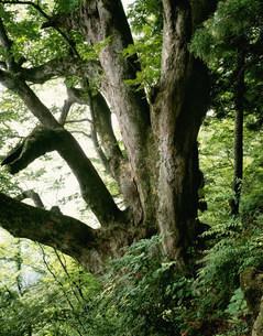 赤岩の栃 樹齢1300年の写真素材 [FYI03268413]