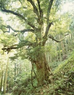 共和のカシの森の写真素材 [FYI03268416]