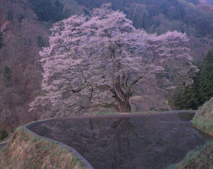 駒つなぎの桜 指定天然記念物の写真素材 [FYI03268687]