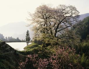 駒つなぎの桜の写真素材 [FYI03268695]