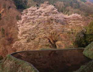 駒つなぎの桜の写真素材 [FYI03268696]