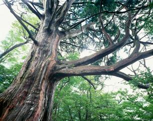 ヒノキ 神坂大ヒノキの写真素材 [FYI03268757]