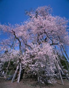 久保桜の写真素材 [FYI03268825]