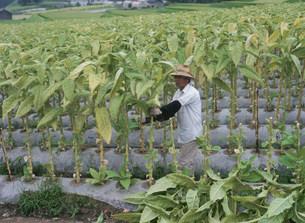 タバコの葉の収穫の写真素材 [FYI03268875]