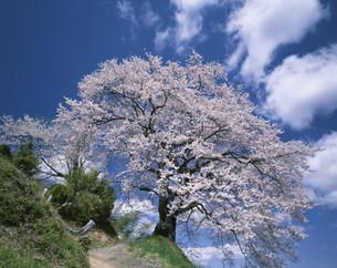 光岩寺桜の写真素材 [FYI03269115]